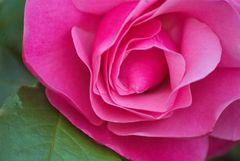 Die Rose in Nachbars Garten