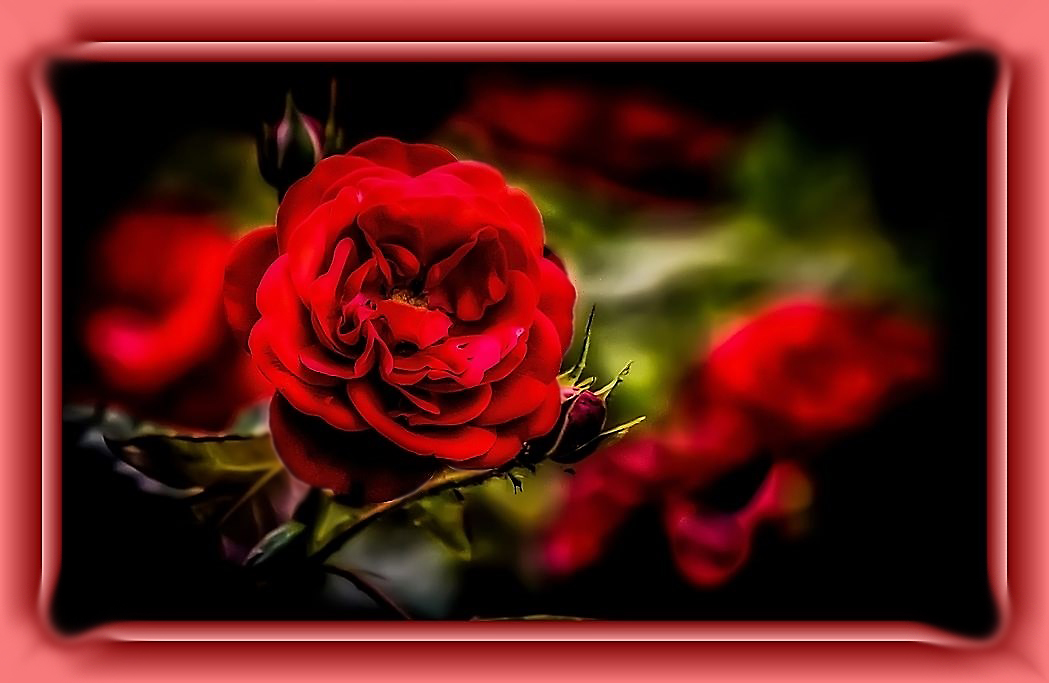 """""""Die Rose"""", jetzt etwas Soft"""