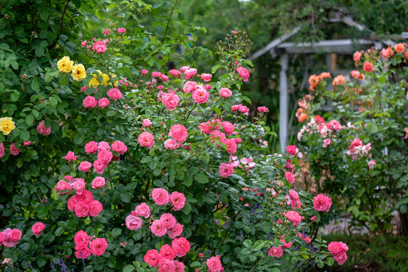 Die Rose Mein Schoner Garten Foto Bild Pflanzen Pilze Flechten Bluten Kleinpflanzen Rosen Bilder Auf Fotocommunity