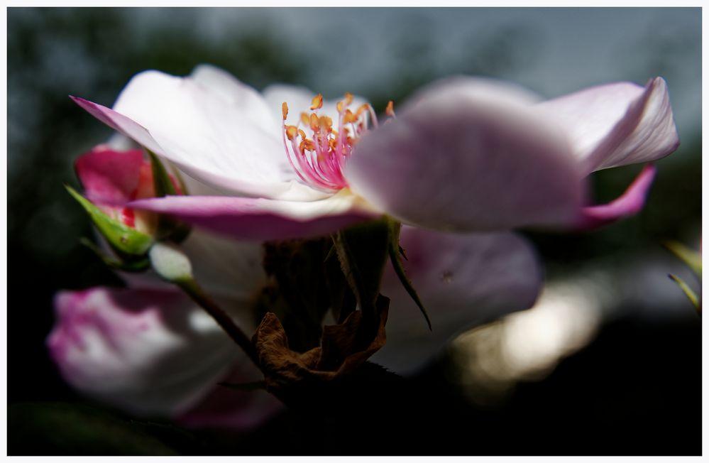 Die Rose Sweet Pretty