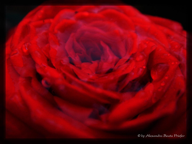 Die Rose und der Regen