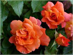 """die Rose """" Westerland"""""""
