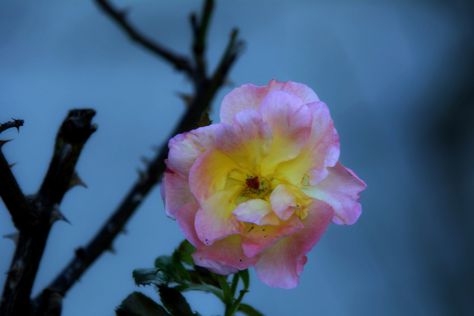Die Rose Westerland im Herbst