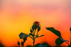 die Rosen im Sonnenuntergang