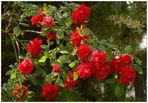 Die Rosen in unserem Garten