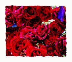 die rosen, in unserem garten......