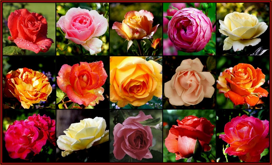 Die Rosen meines Sommers