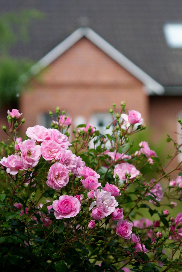 Die Rosen vor der Tür