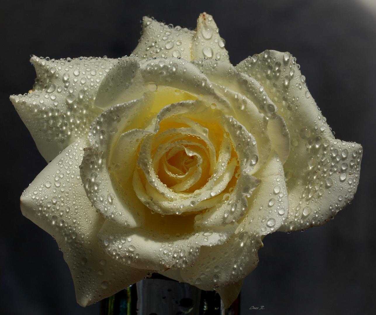 Die Rosenkönigin