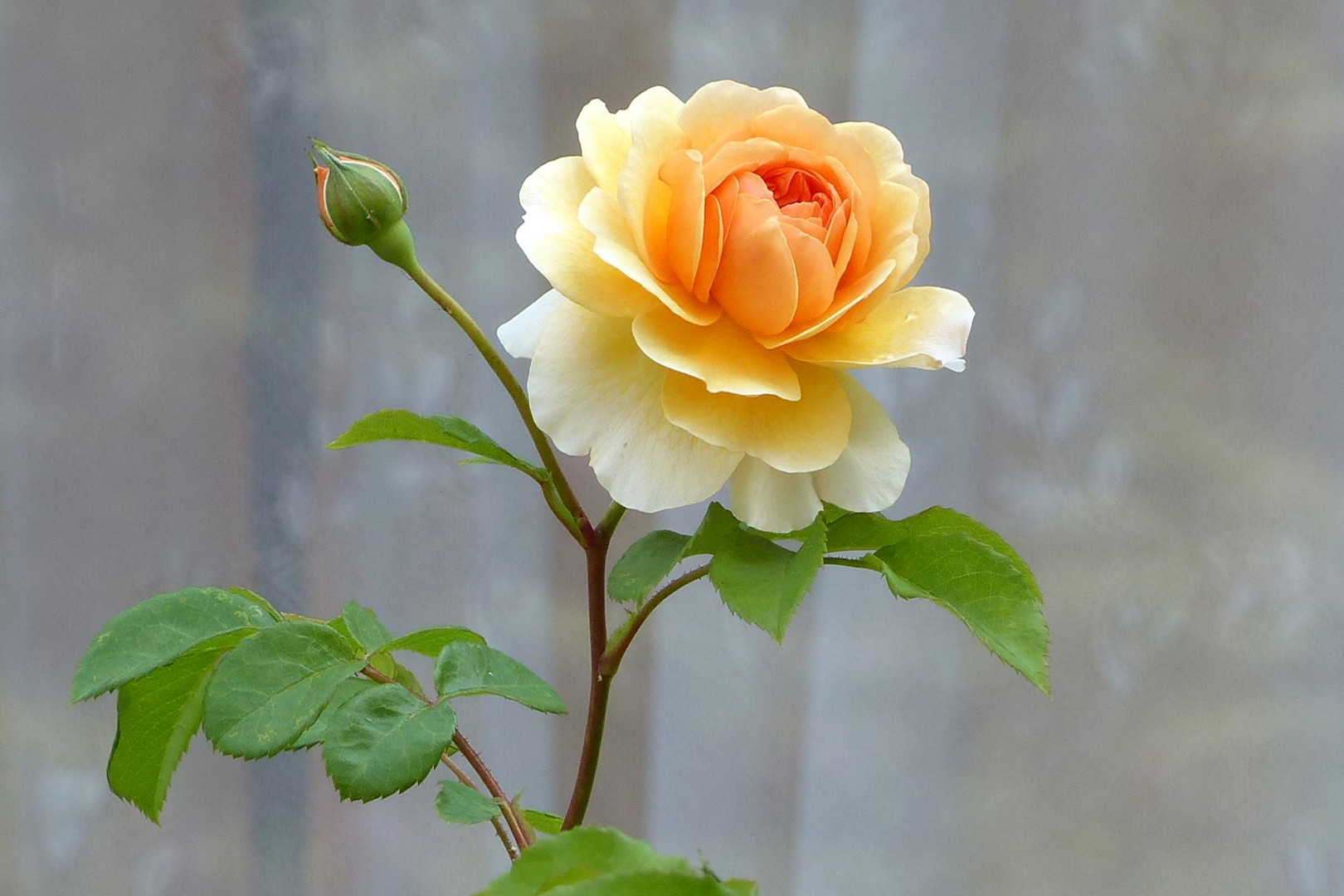 Die Rosensaison wird eröffnet