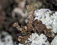 """Die Rosettige Kalk-Becherflechte* in """"meinem"""" geliebten Wald! - Un lichen dans une forêt que j'aime!"""