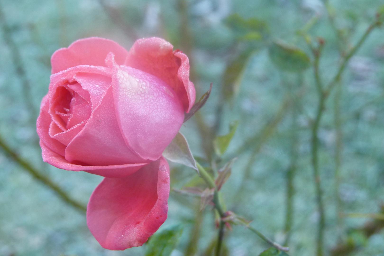 Die Rose.......Wintertraum...................Naturwunder!