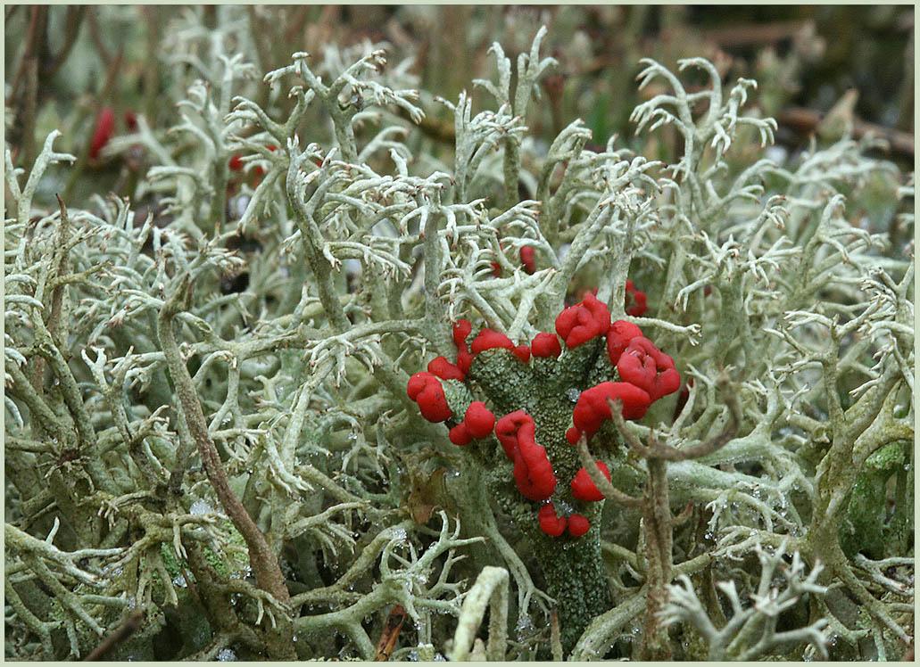 Die rot leuchtende Cladonia polydactyla...