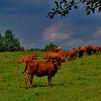 die rote kuh