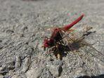 Die rote Libelle so nah...