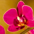 Die rote Phalaenopsis (#1)