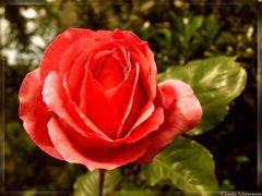 Die rote Rose!