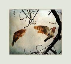 Die rote Taube