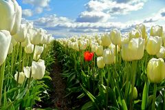 die rote Tulpe