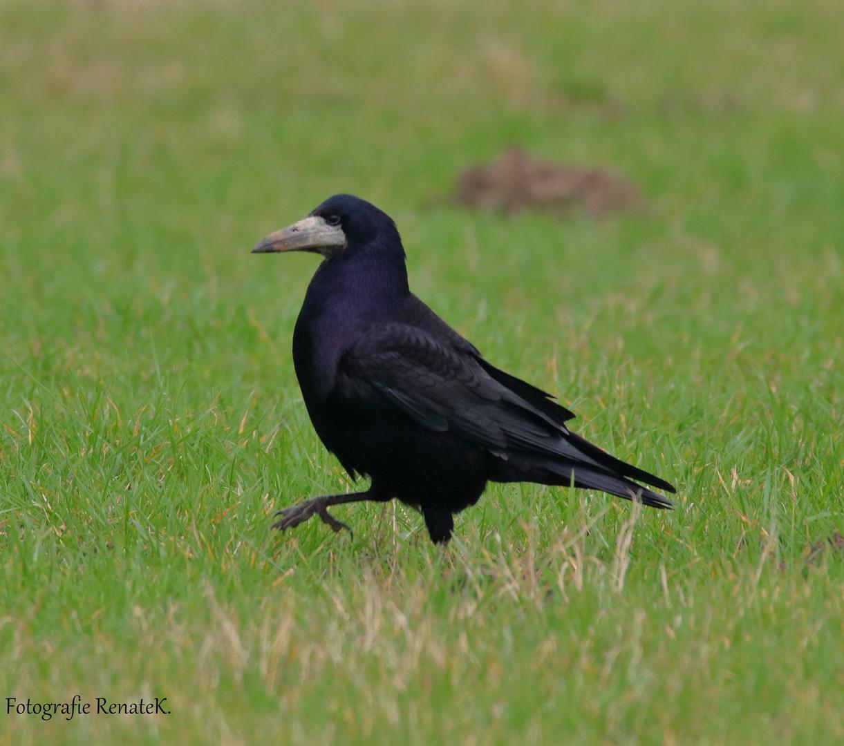 Die Saatkrähe - Corvus frugilegus