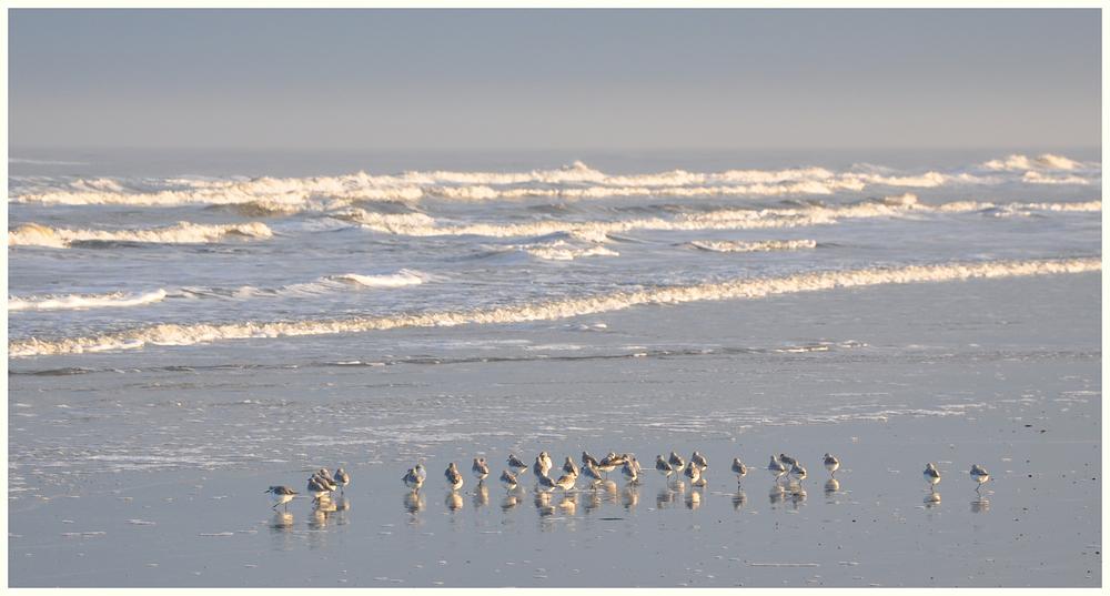 Die Sanderlinge machen heute einen Strandausflug (...okay, machen sie wahrscheinlich jeden Tag :-)