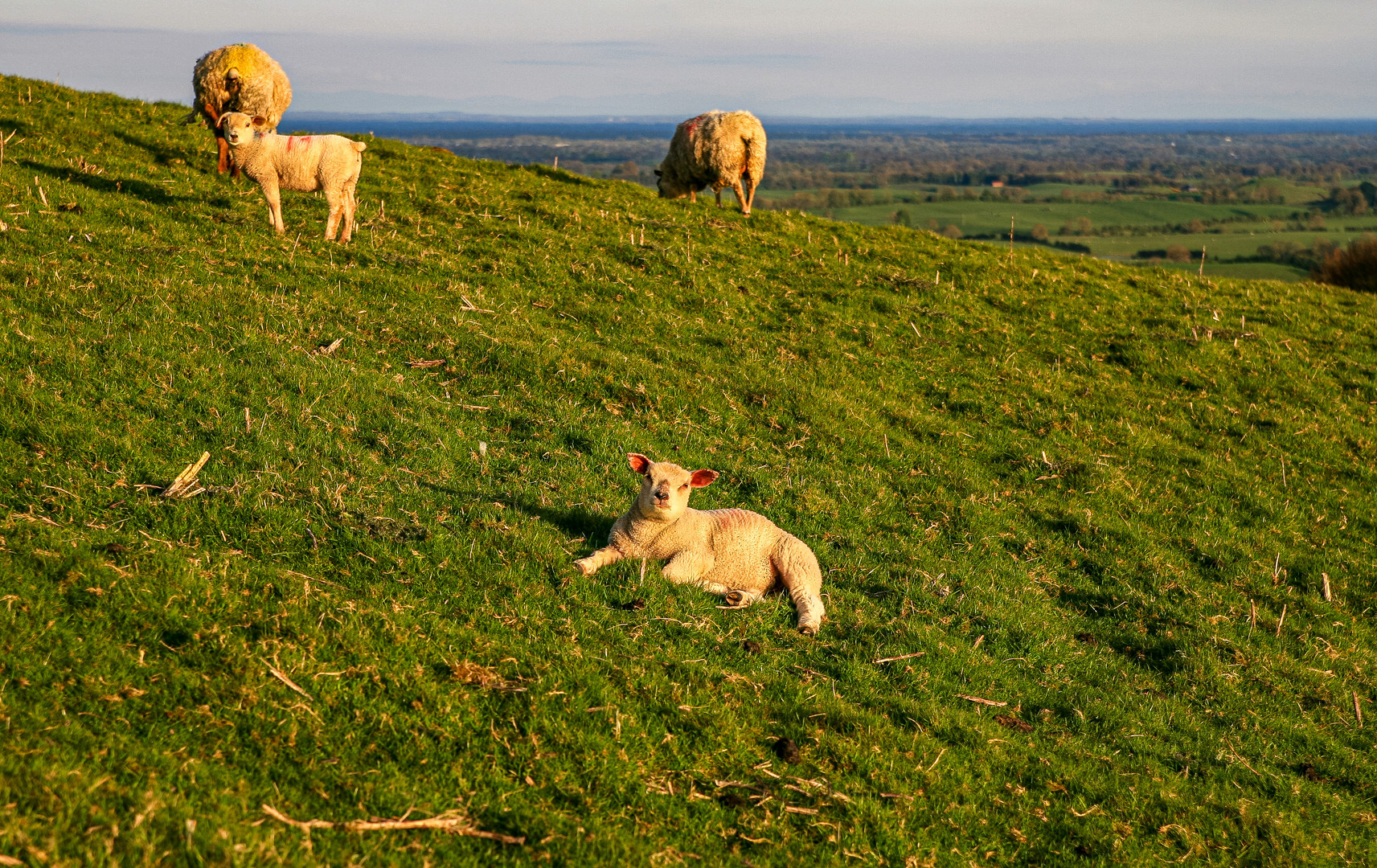 Die Schafe hier auf dem Weg...