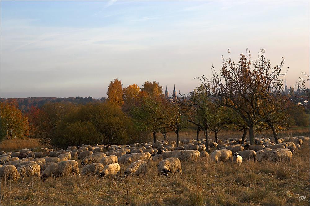 Die Schafe im Kirdorfer Feld