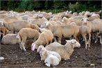 die Schafsherde.....