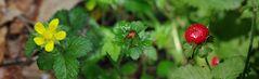 Die Scheinerdbeere