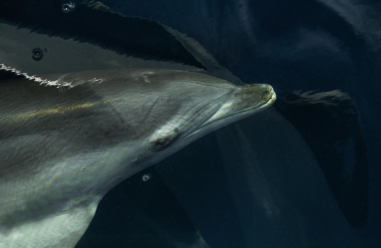 Die Schiffsbegleitung... hier ein common dolfin