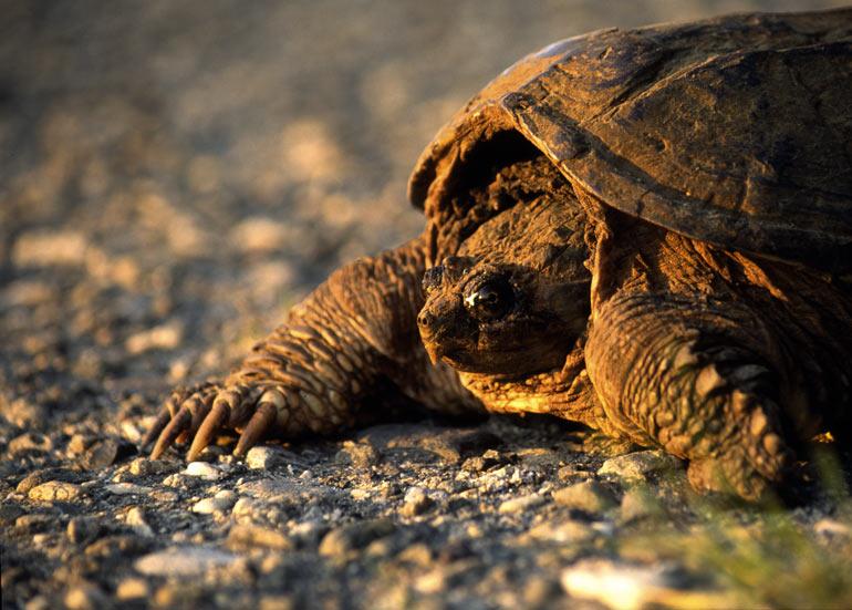 die Schildkröte im Abendrot