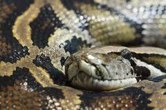 Die Schlange Kaa