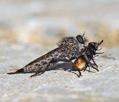 Die Schlichte Raubfliege (Machimus rusticus). *