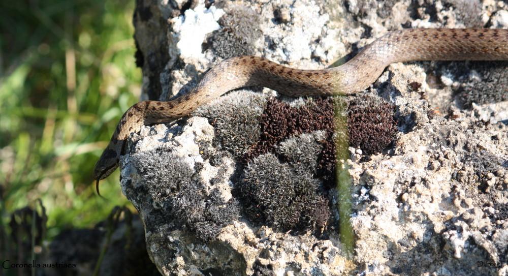 Die Schlingnatter( Coronella austriaca) Nord-Ost Frankreich.