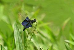Die schöne Blaue
