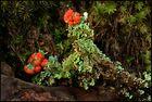 Die schöne Cladonia im Doppelpack