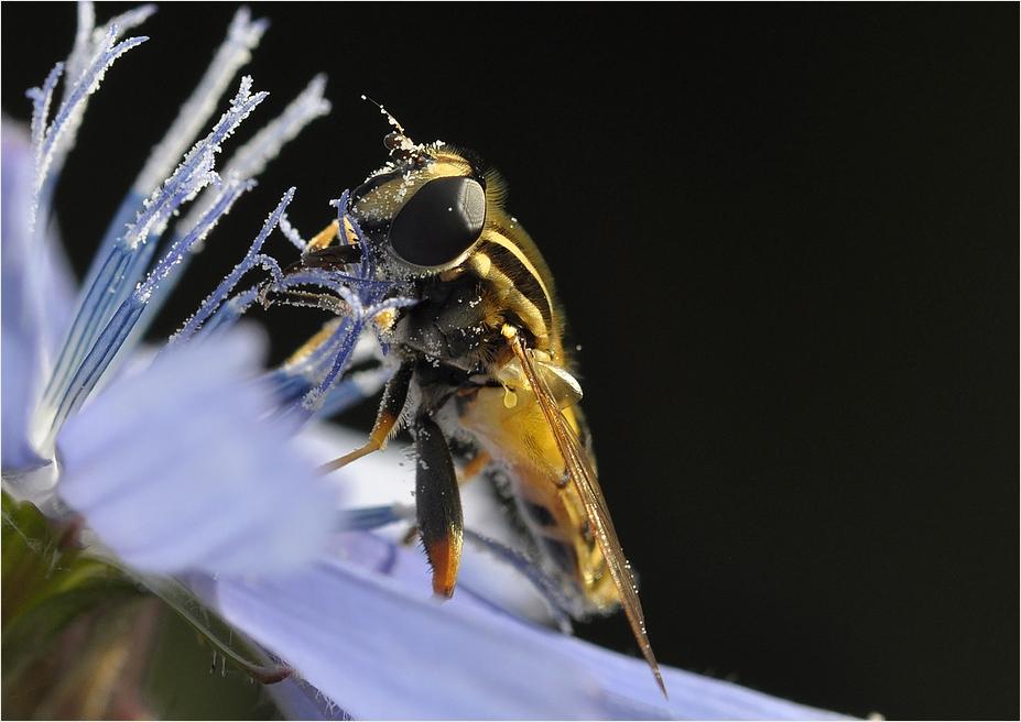 Die schöne Pollenfängerin