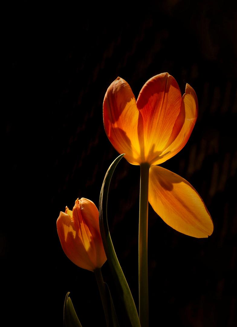Die schöne Tulpenzeit..