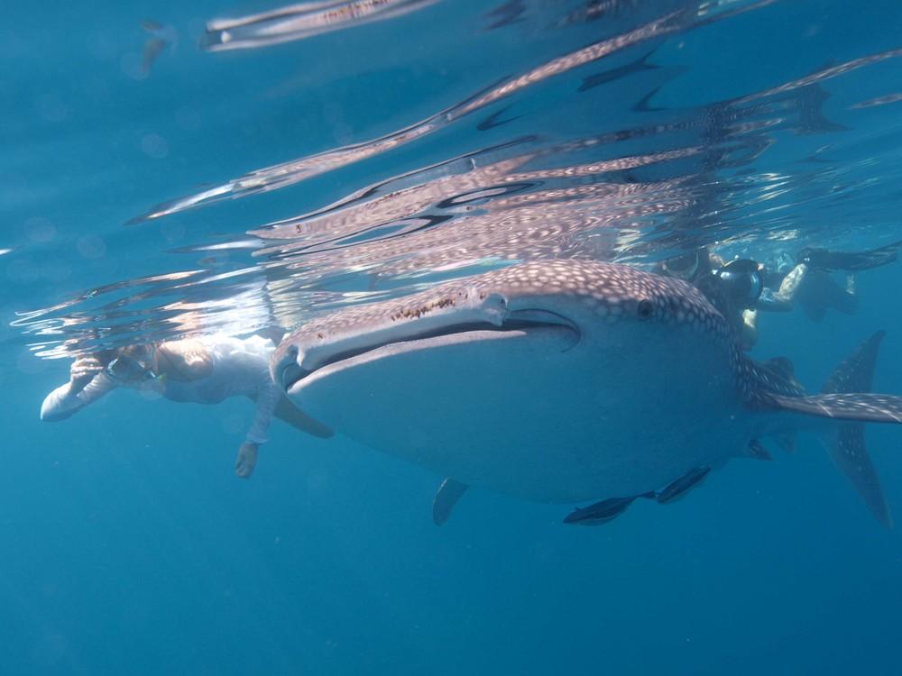 Die Schöne und der Walhai...