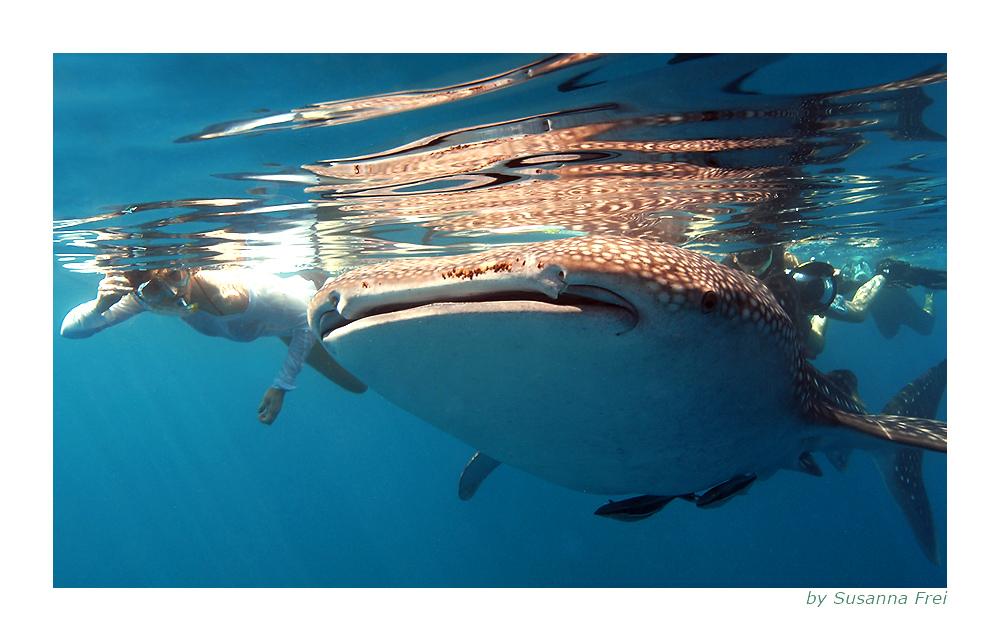 Die Schöne und der Walhai... (reload)