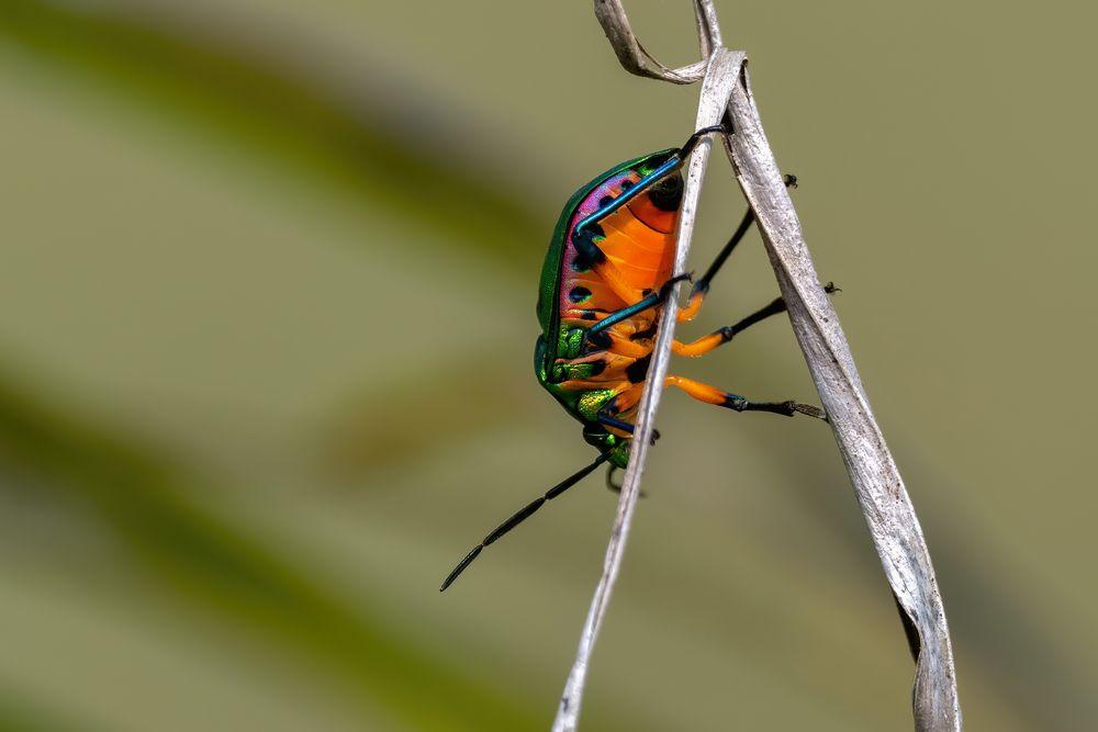 Die schöne Unterseite - Lychee Shield Bug