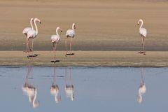 die schönen Flamingos