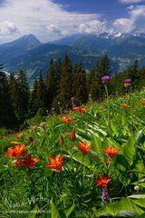 Die Schönheit der Feuerlilien