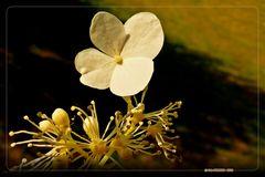 Die Schönheit einer einzelnen Hortensienblüte  ..