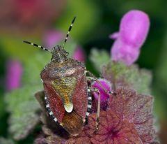 Die Schönheit einer gewöhnlichen Beerenwanze (Dolycoris baccarum)!