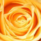 Die Schönheit einer Rose