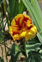 Die Schönste aller Tulpen die ich habe......