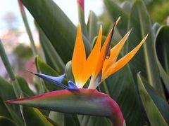 Die schönste Blume auf Madeira