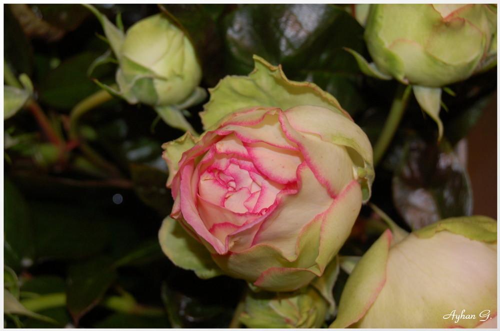 Die schönste Rose
