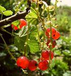 Die schönsten roten Johannisbeeren in Nordrhein-Westfalen wachsen nun mal in Herberts Garten